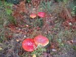 Title: Fly Agaric field