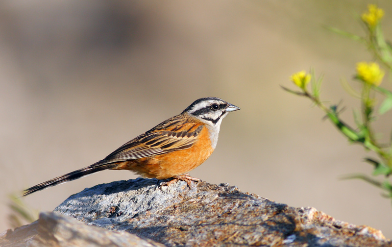 The Rock Bunting