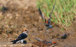 Title: The Red-rumped Swallow