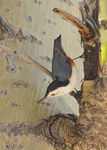 Title: The nuthatches