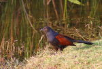 Title: greater-coucal_pheasant