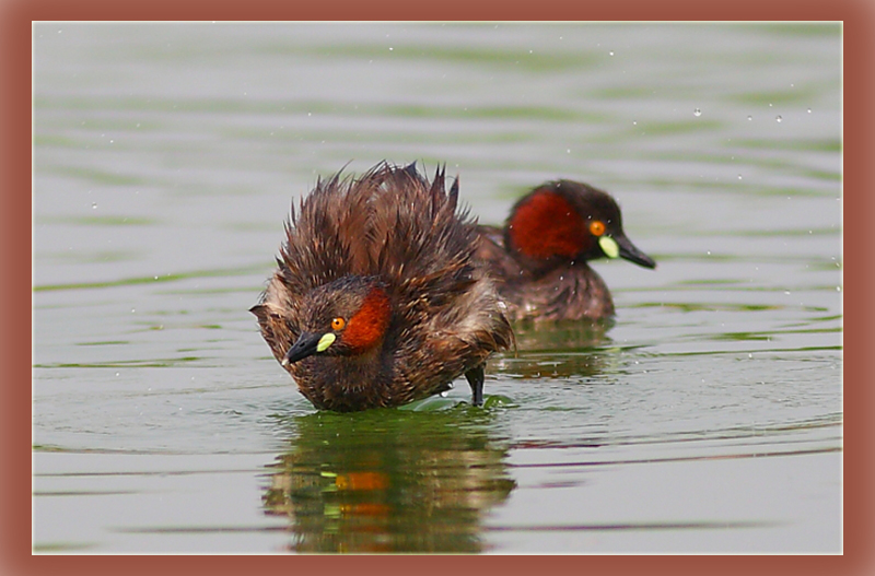 The Little Grebe