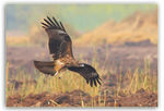 Title: The Black Kite