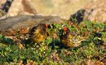 Title: The Red-fronted Serin