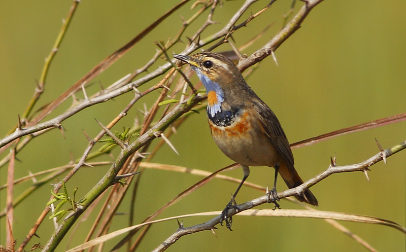 The Bluethroat