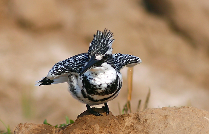 The Pied Kingfisher