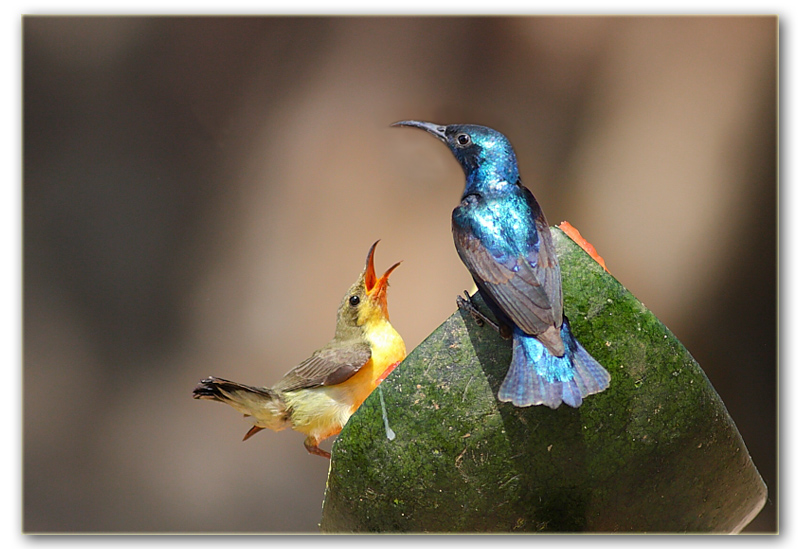 The Purple Sunbird