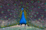 Title: peafowl_view
