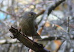 Title: streaked_laughing-thrush