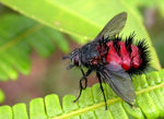 Title: Tachinid fly