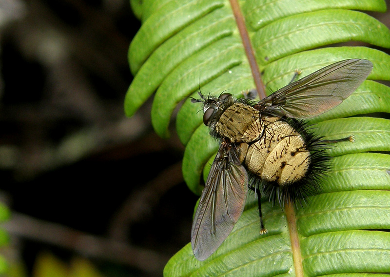 yellow tachinid fly