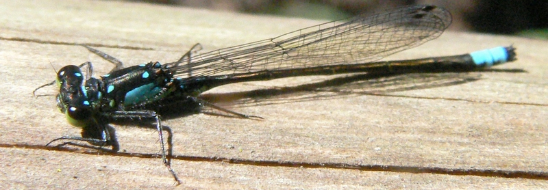 Blue-Tailed Damselfly Dragon Fly