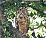 Title: Indian eagle-owl