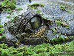 Title: Eye of Gharial