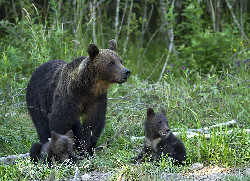Mother bear with her cubs.