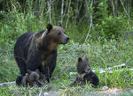 Title: Mother bear with her cubs.