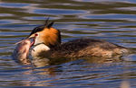 Title: Great Crested Grebe
