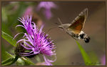 Title: Hummingbird Hawk Moth