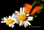 Title: Scarce copper with Oxeye daisy