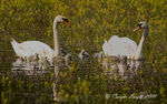 Title: Swan family