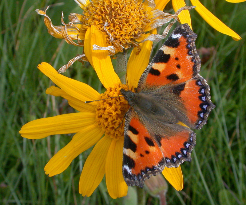 Arnica and butterfly
