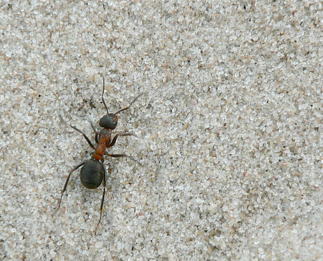 Ant in the Sand