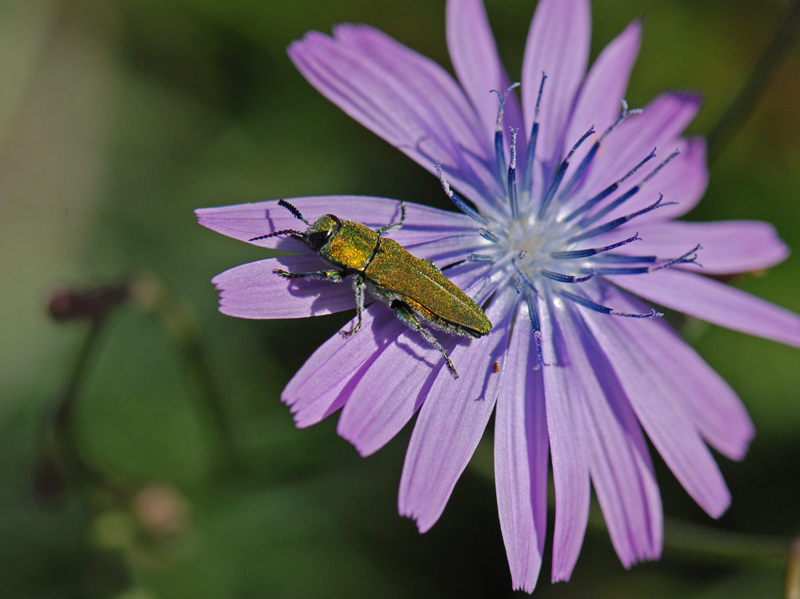 Jewel Beetle on Chicory