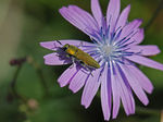 Title: Jewel Beetle on Chicory