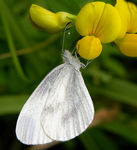 Title: Wood White Camera: Nikon Coolpix 8700