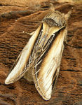Title: Swallow prominent