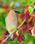 Title: Waxwing.