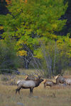 Title: Elk in Front of Fall Colors