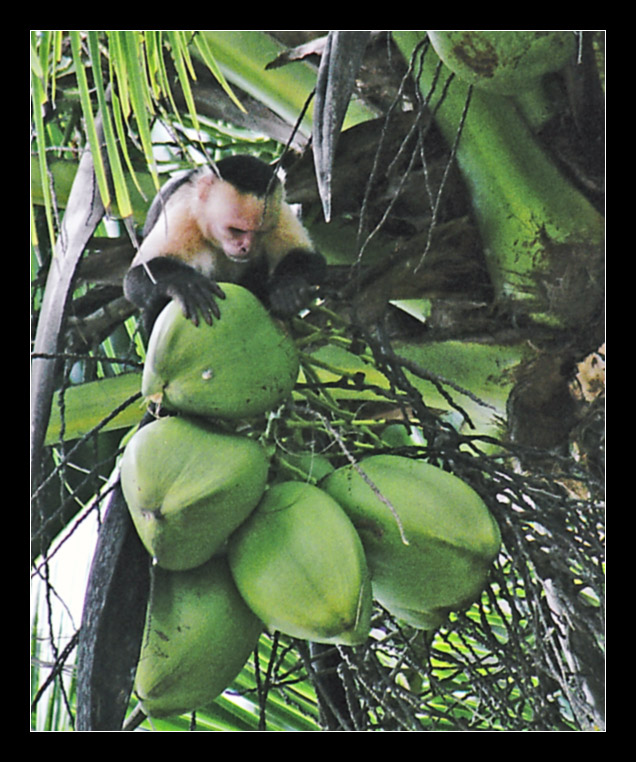 Coco-nuts hunting