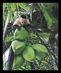 Title: Coco-nuts hunting