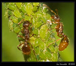 Title: Grazing ants