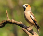 Title: Coccothraustes coccothraustes