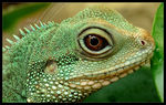 Title: Chinese Water Dragons