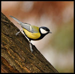 Title: Parus major