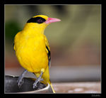 Title: Black-naped Oriole