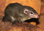 Title: Common tree shrew