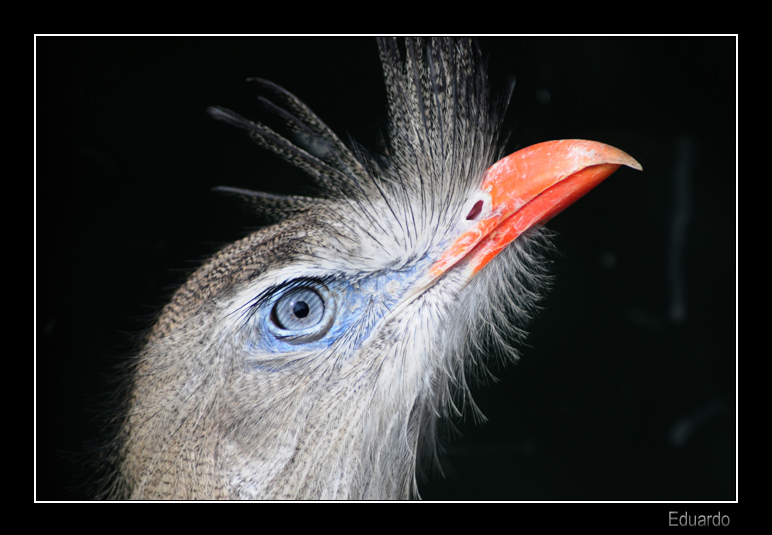 Red legged Seriema