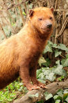 Title: Bush Dog