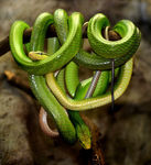 Title: Red-tailed green ratsnake
