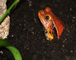 Title: Tomato Frog