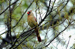 Title: Female Northern Cardinal