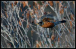 Title: American Robin on the move