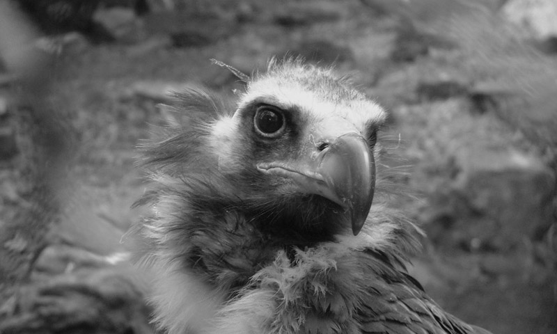 Vulture in Zoo