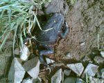 Title: Bufo bufo (Common Toad)