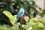Title: blue-gray tanager