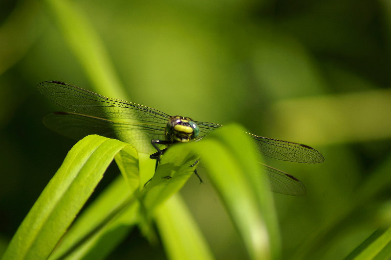 Dragonfly lurking